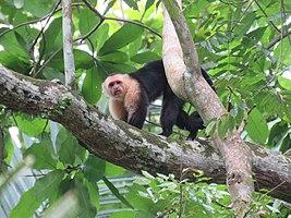 Macho alfa de Momo carablanca de Panamá.jpg