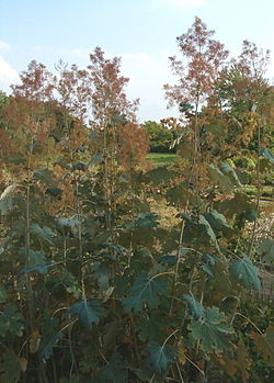 meaning of macleaya