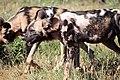 Madikwe Game Reserve, South Africa (40753997795).jpg