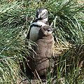 Magellanic Penguin with chick (5541445848).jpg