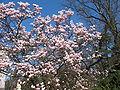 Magnolia Kórnik.jpg