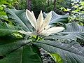 Magnolia tripetala - Umbrella Tree 2.jpg