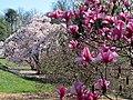 Magnolias at National Arboretum (25367770613).jpg