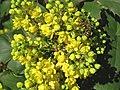 Mahonia aquifolium fiorita con ape.jpg