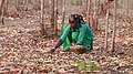 Mahua picker of Kanha.jpg