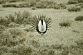 Male Greater Sage-Grouse (6948163732).jpg