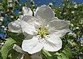Malus in flower Яблоня цветет в Санкт Петербурге 03.jpg