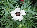 Malvales - Hibiscus trionum - 1.jpg