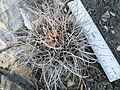 Mammillaria casoi (mystax) (5738751787).jpg