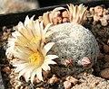 Mammillaria solisioides.jpg