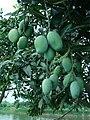 Mango Bangladesh (2).JPG