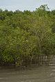Mangrove - Godkhali - South 24 Parganas 2016-07-10 4929.JPG