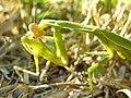 Mantis eating locust DSCN9780.jpg