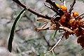 Mantis religiosa (Mantidae) hunting on Hippophae rhamnoides (33219342332).jpg
