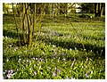 March Spring Crocus Botanischer Garten Freiburg - Master Seasons Rhine Valley Photography - panoramio (1).jpg
