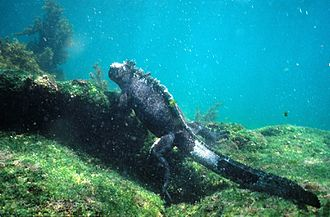 Marine iguana - Large male marine iguanas forage for algae underwater at sea