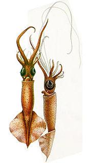 <i>Mastigoteuthis glaukopis</i> Species of mollusc