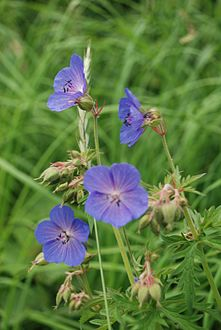Meadow Cranesbill.jpg