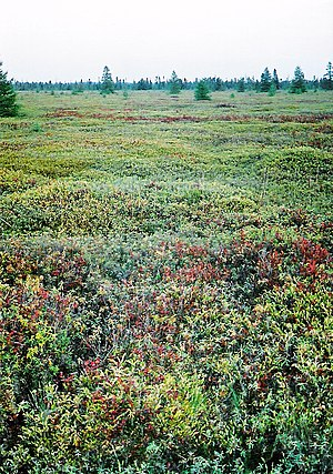Sphagnum - Mer Bleue Conservation Area, a large, protected Sphagnum bog near Ottawa, Ontario, Canada