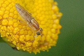 Russische Halmfliege (Meromyza saltatrix) ♂