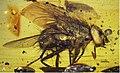 Mesembrinella caenozoica profile view.jpg