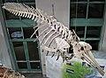 Mesoplodon mirus (True's beaked whale) 5 (30400799583).jpg