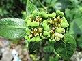 Mexican fireplant (Euphorbia heterophylla) flower 2.jpg