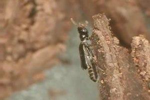 File:Micromalthus debilis.ogv