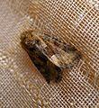 Middle-barred Minor. Oligia fasciunculata. - Flickr - gailhampshire (1).jpg