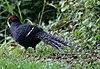Mikado Pheasant 398