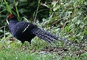 Mikado Pheasant 398.jpg