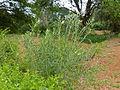 Milkweed (Gomphocarpus fruticosus) (11874291126).jpg