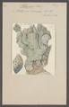 Millepora coerulea - - Print - Iconographia Zoologica - Special Collections University of Amsterdam - UBAINV0274 111 07 0029.tif