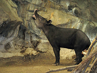 Baird's tapir - A Baird's tapir in a zoo, exhibiting the flehmen response