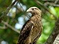 Milvago chimachima (Pigua) - Casi adulto (14413868807).jpg