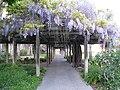 Mission Santa Clara gardens wisteria 2.jpg