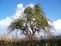 Mistletoe near Cedar Farm - geograph.org.uk - 1700913.jpg