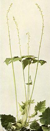 Mitella diphylla WFNY-090B.jpg