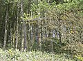 Mixed woodland at Westridge Copse - geograph.org.uk - 502151.jpg