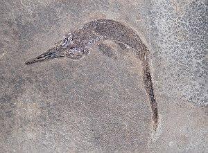 Mixosaurus - M. cornalianus in Milan