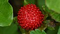 Mock Strawberry (Potentilla indica) - Guelph, Ontario.jpg