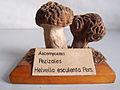 Modell von Helvella esculenta (Gyromitra esculenta, Frühjahrs-Giftlorchel, Frühjahrslorchel, Frühlorchel, Giftlorchel).jpg
