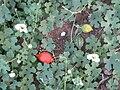 Momordica balsamina (4336951013).jpg