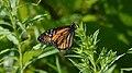 Monarch (Danaus plexippus) - Kitchener, Ontario 2019-07-28.jpg