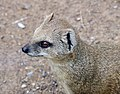 Mongoose 2 (3309818456).jpg