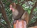 Monkey yawning 1.jpg