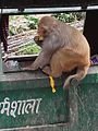 Monkeys of dharamshala.jpg