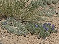 Mono Lake lupine, Lupinus tegeticulatus var. duranii (17626042572).jpg