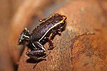 Eleutherodactylus Iberia Wikip 233 Dia