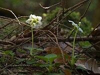Moosauge Moneses uniflora Grüner Ups Ehrwald-001.jpg